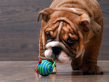Puppy English bulldog playing with a toy. Big dog muzzle. Puppy is small and funny - 105920863