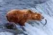 Grizzly Bears of alaska