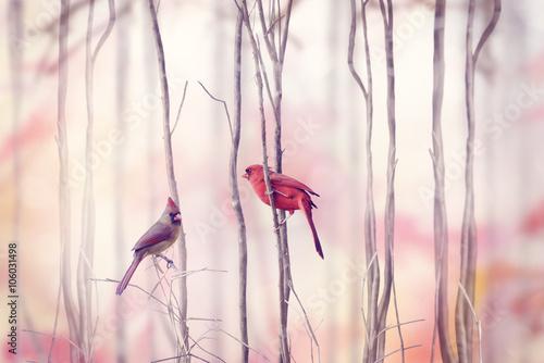 fototapeta na ścianę Northern Cardinal Birds