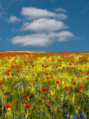 Fototapeta Mohnblumen und Kornblumen mit Wolken und blauem Himmel