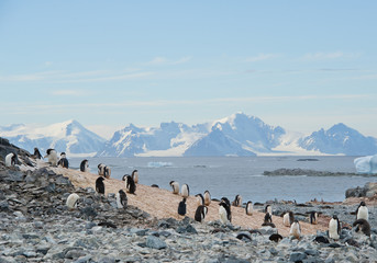 Small colony of Adelie penguins, with mountains in background, Antarctic Peninsula