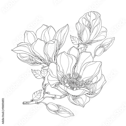 Fototapeta Stem with ornate magnolia flower, buds and leaves isolated on white background. Floral elements in contour style.
