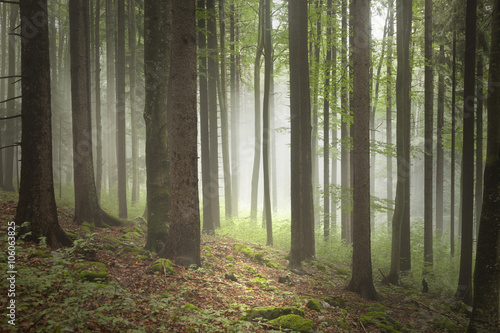 Beautiful spring season foggy forest with stones on the floor covered with moss. © robsonphoto