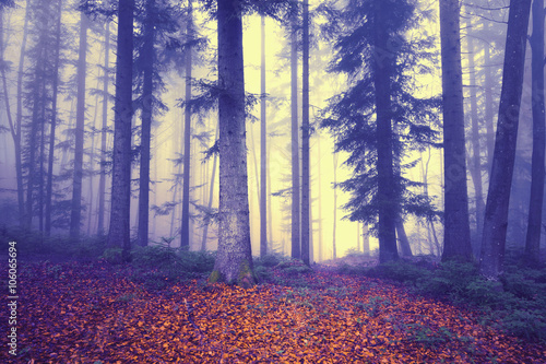 Mystical colored foggy forest tree fairytale. Purple foggy light in forest.