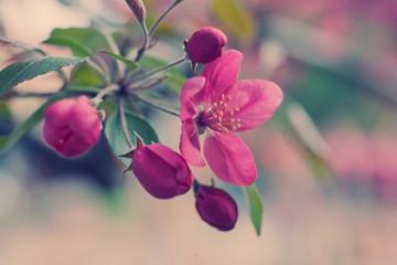 Beautiful blurred pink sakura flowers (retro style)