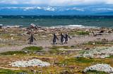 Magellanic penguins in natural environment - Seno Otway Penguin
