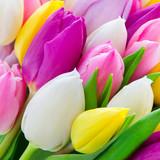 Tulpen - 106101067