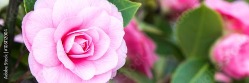 Zdjęcia na płótnie, fototapety, obrazy : rosenblüten