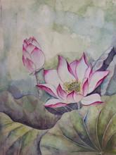 beautiful blooming lotus