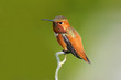 Rufous Hummingbird, Male.  sitting on a Branch, with green backgriound