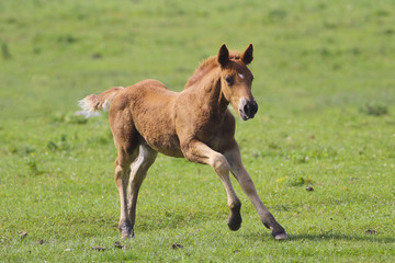 Brown foal  jumping © Geza Farkas