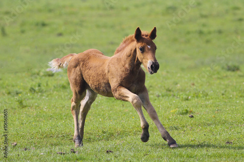 Brown foal  jumping © Geza Farkas