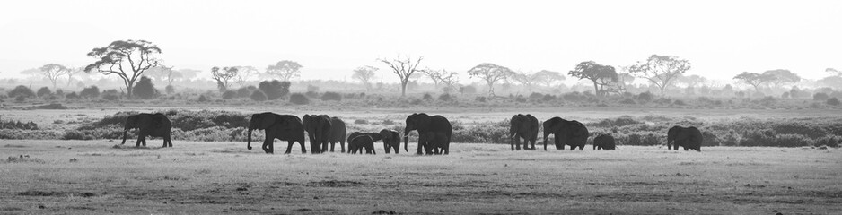 Herd of elephants walkig in Amboseli National park, Kenya, Africa. Black nad white image. Panorama.