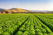 Salinas Valley Lettuce Field