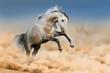 Grey horse jump in dust