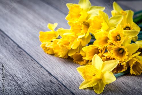 Wiązka żółci daffodils z okwitnięciem