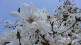 magnolia macrophylla - Magnolia stellata