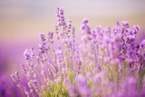Sunset over a violet lavender field in Provence - 106360657