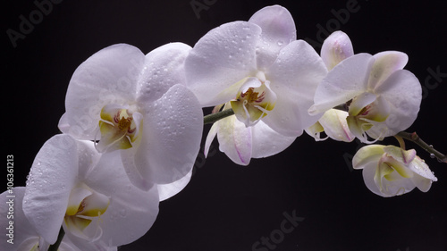 Panel Szklany White orchid isolated on black