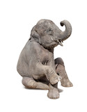Fototapety elephant sit down isolated on white background