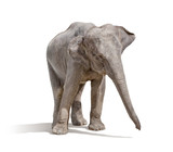 Fototapety elephant isolated on white background