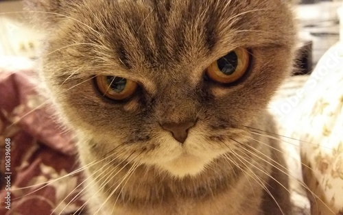 Leinwanddruck Bild Funny angry cat