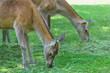 Постер, плакат: Two grazing hinds or red deer female animals on summer grassland