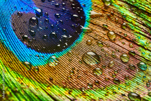 Fotobehang Pauw Peacock feather with drops of water