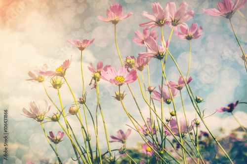 Poszter Cosmos flower and sunlight with vintage tone.