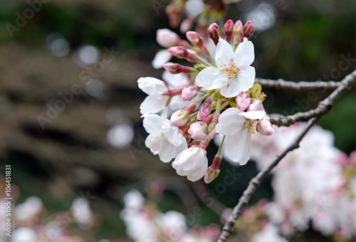 Sakura - Cherry blossoms in Japan mark the beginning of Spring and Hanami, flowe Poster