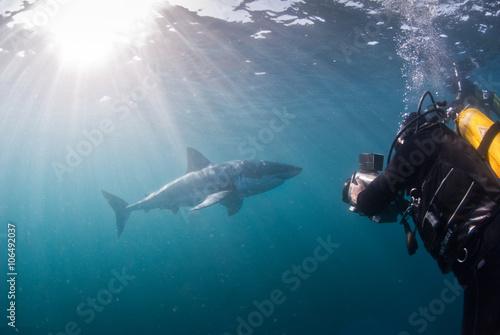 Great white shark underwater, Gansbaai, Western Cape, south Africa Poster