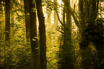 Sunlight entering misty forest with silhouetted tree's.