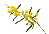 Close up of Acacia saligna - 106544030