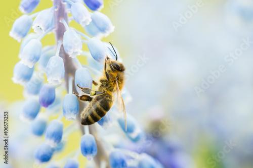 Abeille Mellifère (Apis Mellifera) butinant une fleur de muscari au printemps