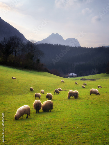 sheep grazing in Basque Country - 106580623