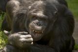 Chimpansee laat tanden zien.