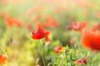 Poppy flower in meadow - wild poppy flower
