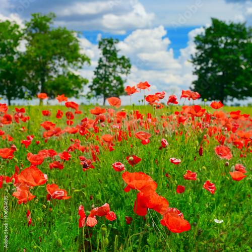 Fototapeta red poppies on green field