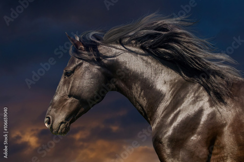 Black stallion in motion portrait isolated against sunset sky