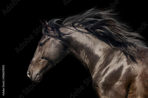 Poster, Tablou Black stallion in motion portrait isolated on black background