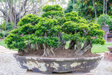 Bonsai tree in a big pot