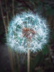 head dandelion and view inside a dandelion