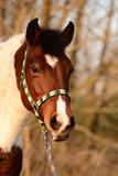 Lewitzer Pony