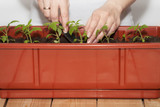 Farmer plants tomato seedlings in a box