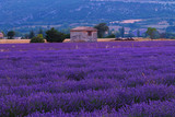 Beautiful colors purple lavender fields near Valensole, Provence