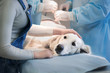 Ill retriever in veterinary clinic.