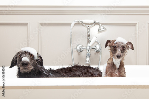 Poszter Two funny wet dogs in bathtub