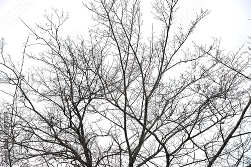 Fototapeta trees without leaves
