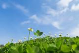 Fototapety 四つ葉のクローバーと青空