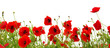 red poppies on white